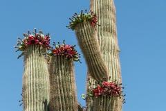Cactus del Saguaro con la fruta rojo-descarnada contra un cielo azul fotografía de archivo libre de regalías