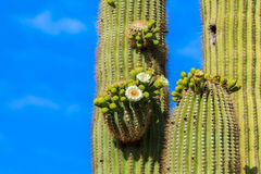 Cactus del Saguaro de Airzonan en la floración imagenes de archivo