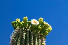Cactus del saguaro dell'Arizona in fioritura Fotografie Stock Libere da Diritti