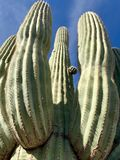 Cactus del saguaro, deserto di Sonoran, Stati Uniti sudoccidentali fotografia stock