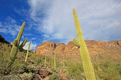 Cactus del saguaro e della canna d'organo in monumento nazionale del cactus della canna d'organo, Arizona, U.S.A. fotografia stock libera da diritti