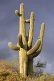 Cactus del Saguaro e un cielo tempestoso scuro Immagini Stock