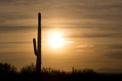 Cactus del Saguaro en desierto en la puesta del sol Foto de archivo libre de regalías