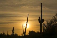 Cactus del Saguaro en desierto en la puesta del sol Imagenes de archivo
