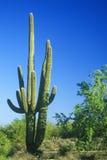 Cactus del Saguaro en el desierto de Sonoma, Scottsdale, AZ Imagen de archivo libre de regalías