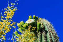 Cactus del Saguaro en la floración, Arizona Imagen de archivo