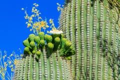 Cactus del Saguaro en la floración, Arizona Foto de archivo
