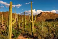 Cactus del Saguaro en la puesta del sol en parque nacional de Saguaro cerca de Tucson, Arizona Imagen de archivo libre de regalías