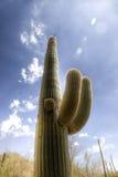 Cactus del Saguaro nel deserto di Sonoran Fotografie Stock