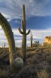 Cactus del Saguaro nel deserto di Sonoran fotografia stock libera da diritti