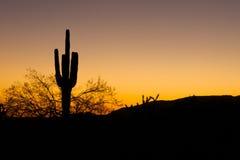Cactus del Saguaro nel tramonto Fotografie Stock Libere da Diritti