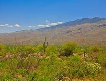 Cactus del Saguaro que crece en desierto Fotos de archivo