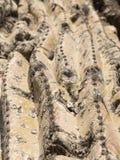 Cactus del Saguaro que crece en el desierto en Arizona, una a caliente de Sonoran Imagen de archivo libre de regalías