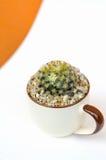 Cactus del schiedeana de Mammillria en el pote Fotos de archivo