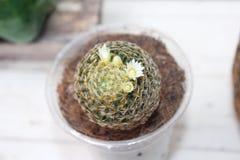 Cactus del schiedeana del Mammillaria Foto de archivo libre de regalías