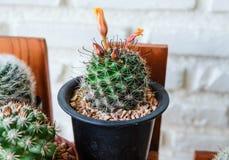 Cactus del sheldonii del Mammillaria con los brotes de flor Imagenes de archivo