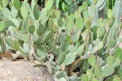 Cactus del stricta de la Opuntia Foto de archivo
