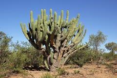 Cactus del Toothpick immagine stock libera da diritti