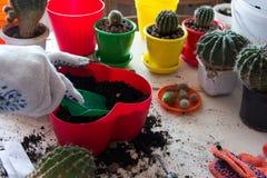 Cactus del trasplante en pote Fotografía de archivo libre de regalías