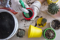 Cactus del trasplante en potes coloridos Foto de archivo