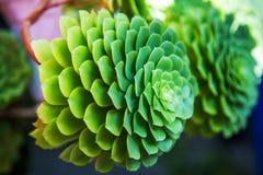 Cactus del verde de Echeveria Pulidonis en un jardín Primer Imagenes de archivo