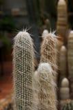 Cactus del viejo hombre Fotografía de archivo