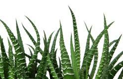 Cactus dell'agave Immagine Stock Libera da Diritti