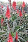 Cactus dell'agave con il fiore Fotografie Stock Libere da Diritti