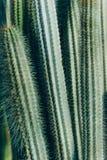 Cactus dell'ago fotografia stock libera da diritti