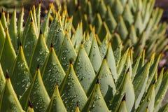 cactus dell'aloe con le gocce di pioggia Immagini Stock