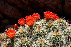 Cactus dell'istrice in fioritura Fotografia Stock