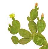 Cactus dell'opunzia Fotografie Stock Libere da Diritti