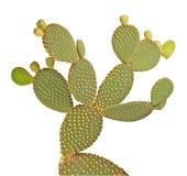 Cactus dell'opunzia Immagini Stock Libere da Diritti