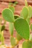 Cactus dell'opunzia Immagine Stock