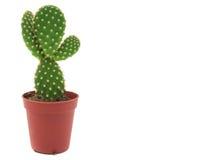 Cactus dell'opunzia Fotografia Stock