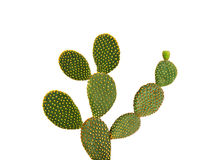 Cactus dell'opunzia Fotografia Stock Libera da Diritti