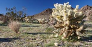 Cactus dell'orso dell'orsacchiotto fotografia stock libera da diritti