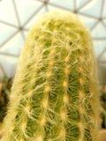 Cactus dell'uomo anziano: Spina dorsale della fibra Fotografie Stock