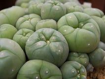 Cactus della lophophora Immagini Stock