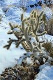 Cactus della neve Immagini Stock