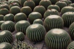 Cactus della palla Fotografie Stock