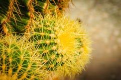 Cactus della palla con le spine gialle brillanti Fine in su fotografia stock