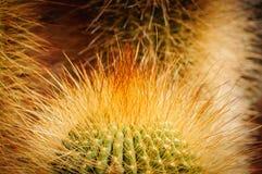 Cactus della palla del limone con le spine gialle brillanti Notocactus Fine in su fotografie stock libere da diritti
