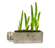 Cactus della pianta di vera dell'aloe piccolo Immagini Stock