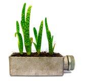 Cactus della pianta di vera dell'aloe piccolo Fotografia Stock Libera da Diritti