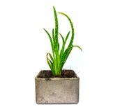 Cactus della pianta di vera dell'aloe piccolo Fotografia Stock