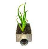 Cactus della pianta di vera dell'aloe piccolo Immagini Stock Libere da Diritti