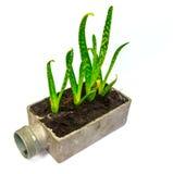 Cactus della pianta di vera dell'aloe piccolo Immagine Stock
