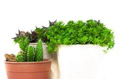 Cactus della pianta verde immagine stock