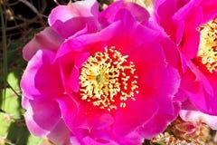 Cactus della tazza di Claret fotografie stock libere da diritti